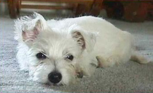 Westie Rescue of Missouri |