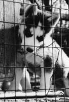Husky Puppy chews on wire